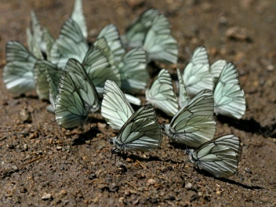 Large Veined Whites - France