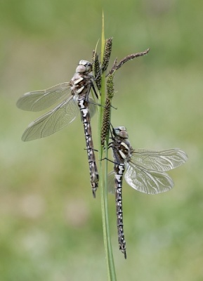 Pair of Migrant Hawkers