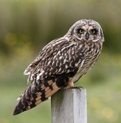 Short Eared Owl.  North Uist