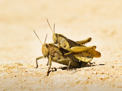 Migratory Locusts by Ken Lomas