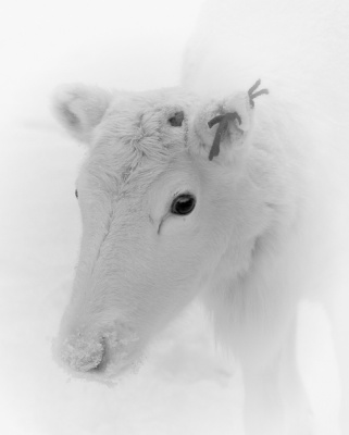 Young Albino REINDEER by Pete Roberts