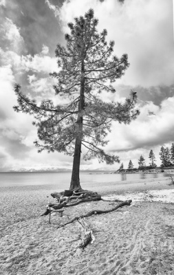 Fir Tree on the Beach by Pete Roberts