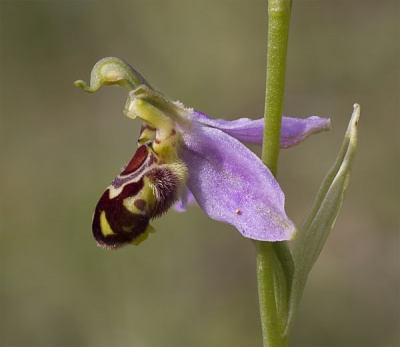Bee Orchid by David Blowers