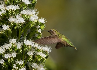 Anna's Hummingbird 3 by Malcolm Blackburn