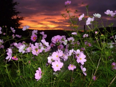 Cosmos at Dusk by Jean Wild