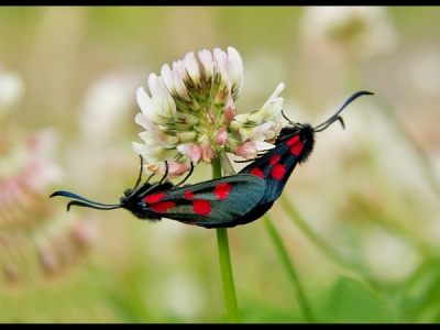 Burnet on Clover by Helena Jones