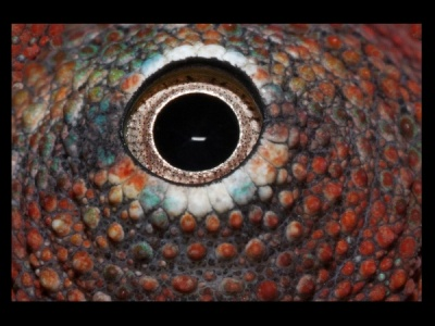 Eye of a Chameleon by Janette Hindle