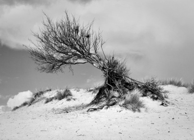 Lone Tree on Studland by Howard Bristol