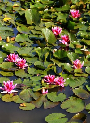 Nymphaea (Water Lilies) by Vic Brown