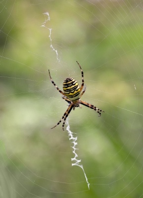Wasp Spider by Keith Gordon