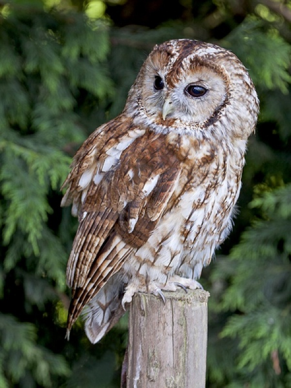 Tawny Owl by Terry Walker