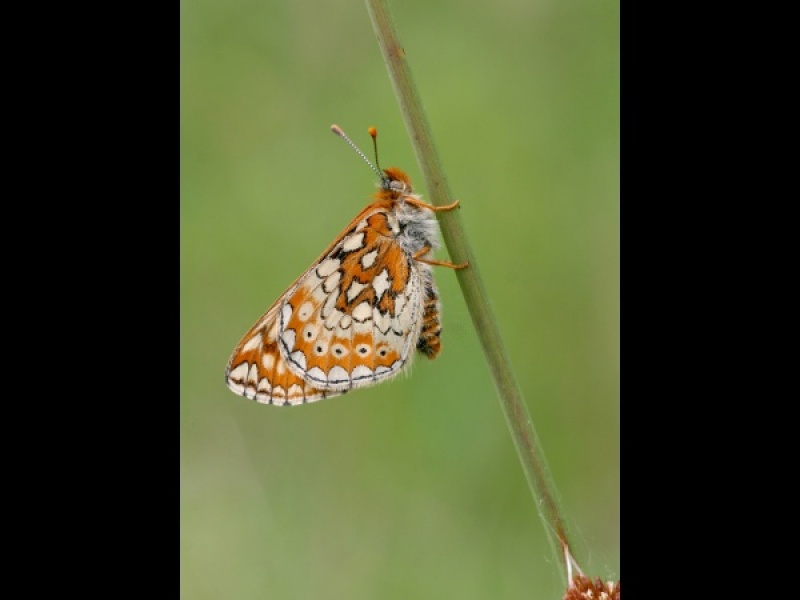Marsh Fritillaries by Sue Murdoch