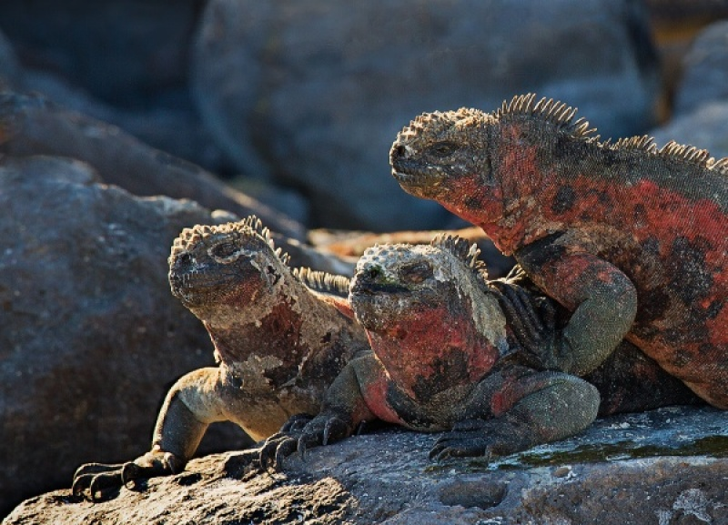 Marine Iguanas by Malcolm Blackburn