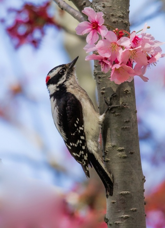 MALE DOWNY WOODPECKER by Malcolm Blackburn 13A