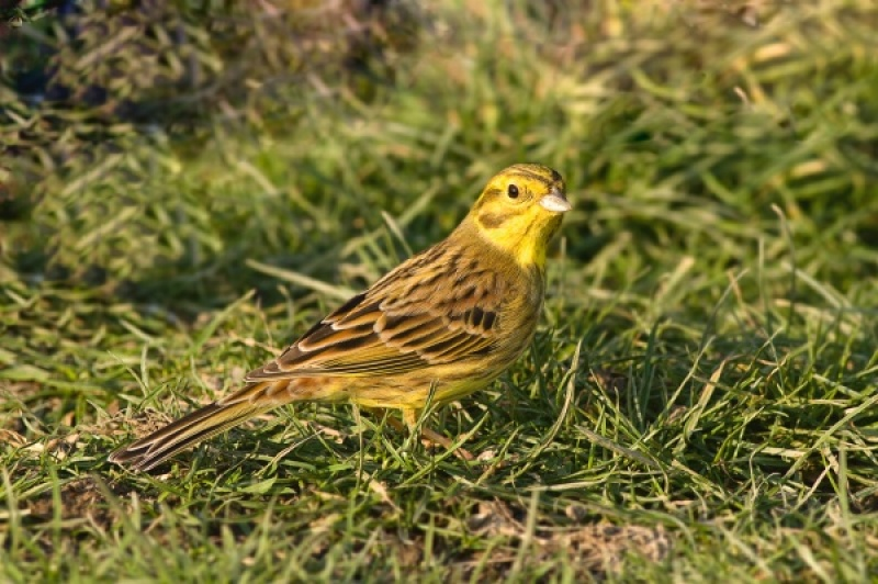 Yellowhammer by Ken Lomas