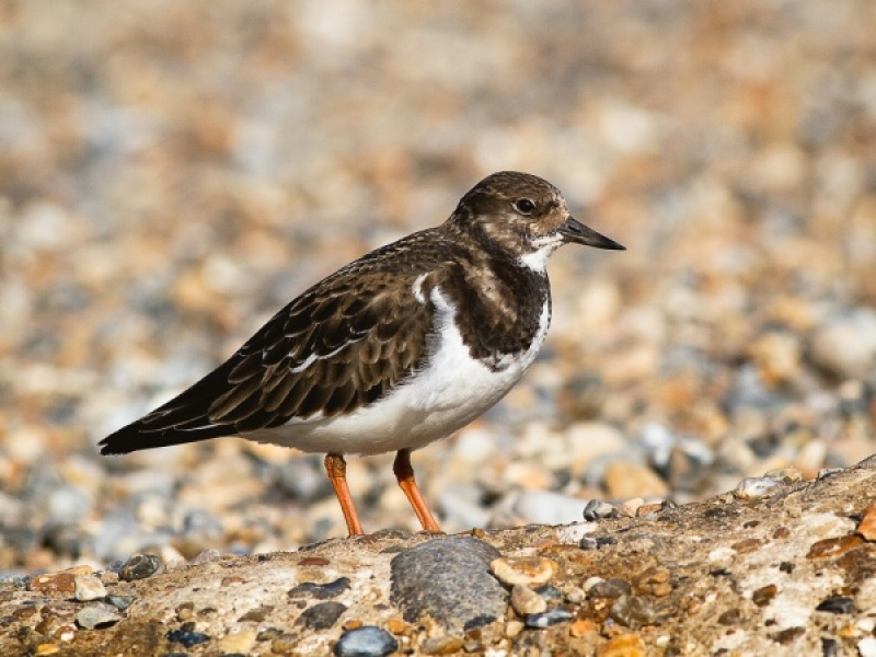 Turnstone by Ken Lomas