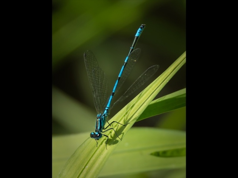 COMMON BLUE DAMSELFLY by Terry Walker