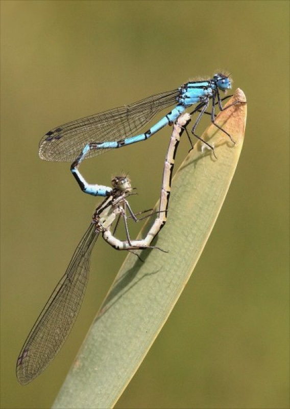 COMMON BLUE DAMSELFLIES IN WHEEL by Tony Pioli