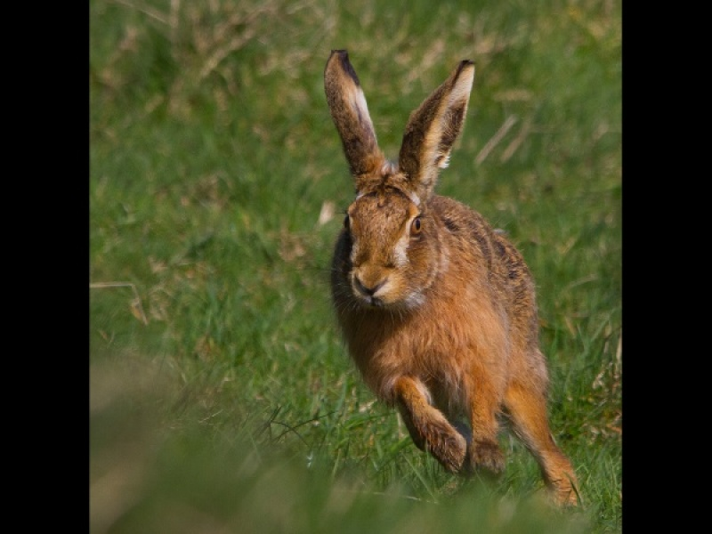 RUNNNIG HARE by James Chapman
