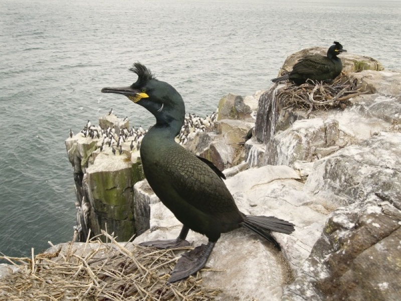 SHAGS AT THE NEST by Ken Lomas