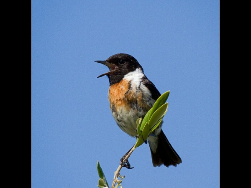 STONECHAT SINGING By Ken Lomas
