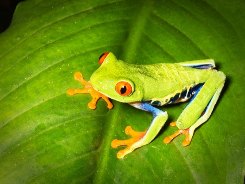 RED EYED TREE FROG by Pete Roberts