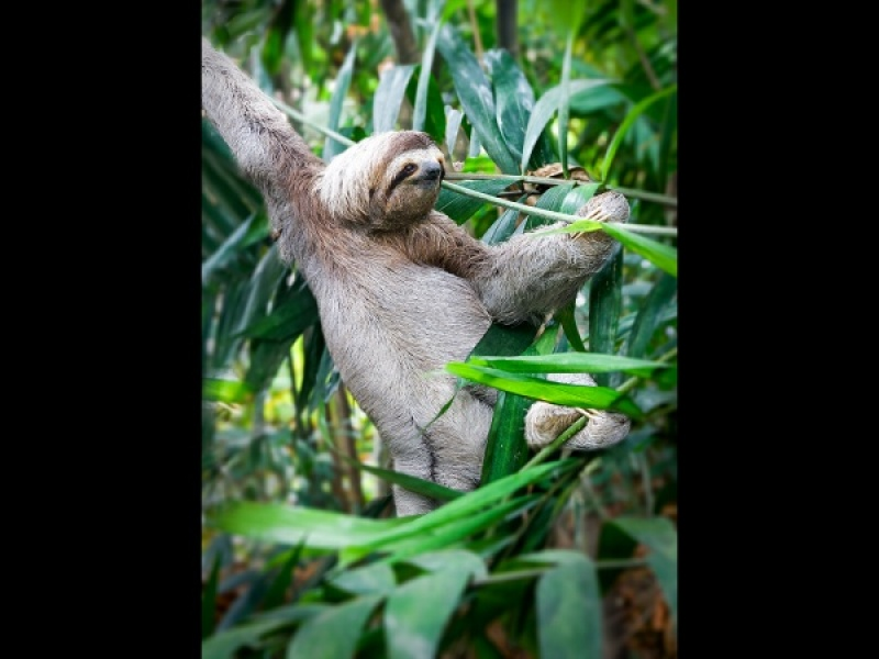 COSTA RICAN THREE TOED SLOTH by Pete Roberts