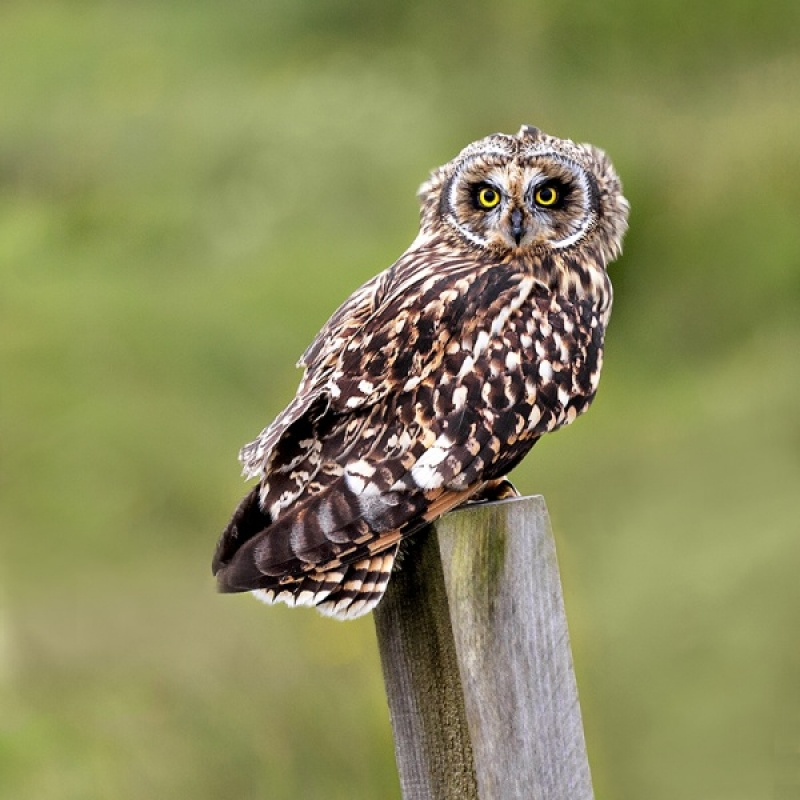 SHORT EARED OWL by Keith Gordon