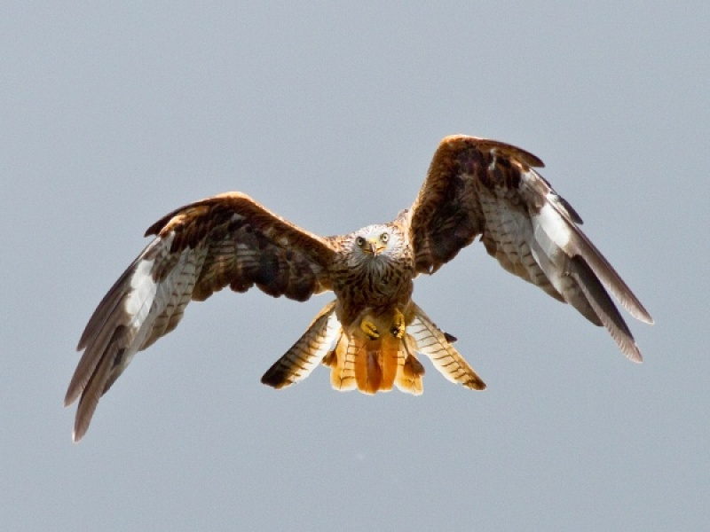 RED KITE APPROACH by Ken Lomas