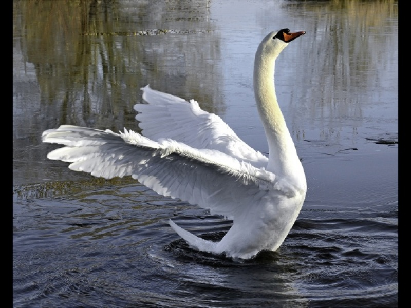 I AM A SWAN - WHEEEEE! by Dick Bateman