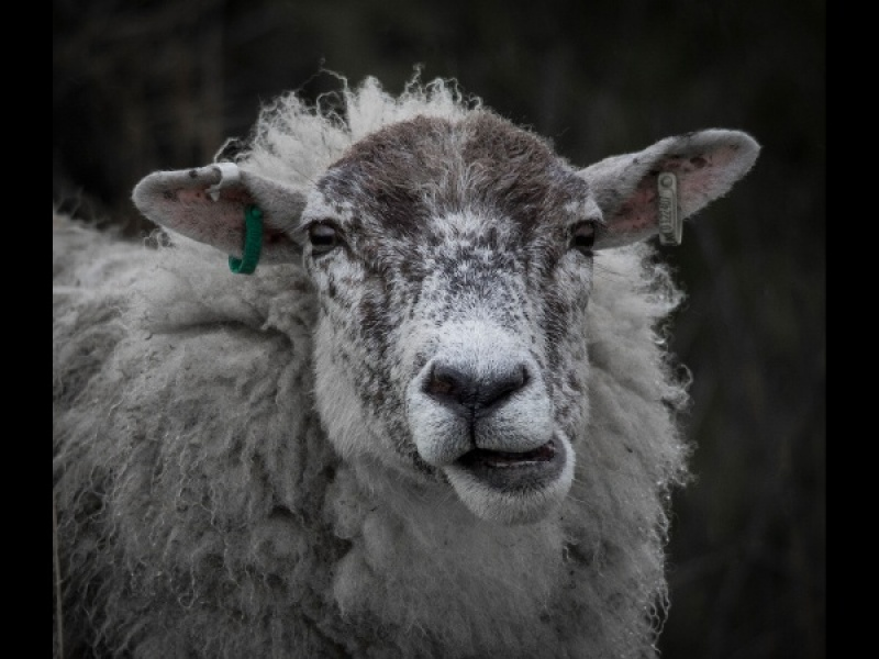 SHEEP WITH ATTITUDE by Diane Thurlow