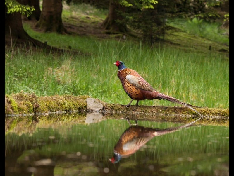 PHEASANT REFLECTION by Diane Thurlow