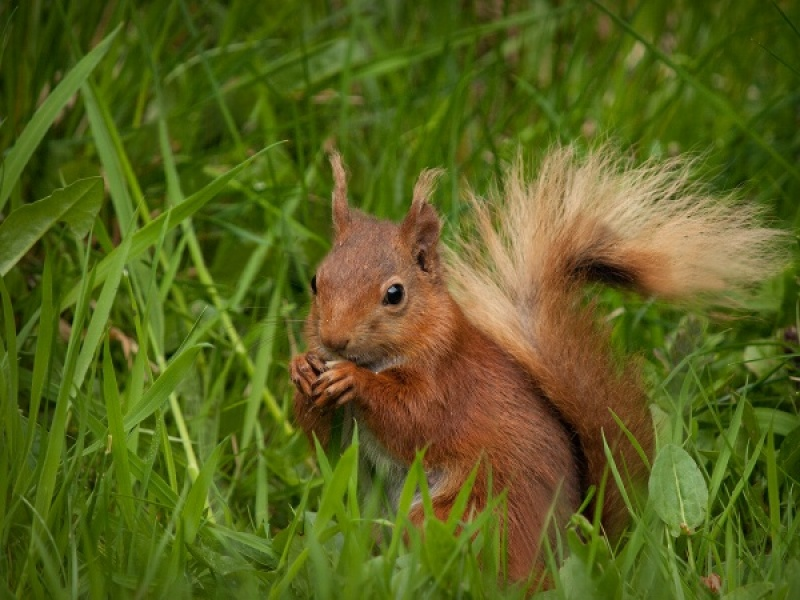 RED SQUIRREL by Diane Thurlow