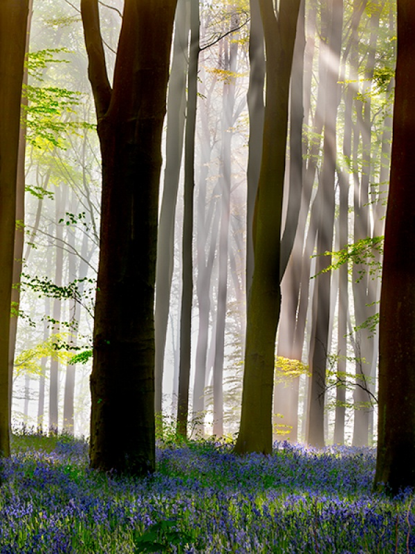 BLUEBELL MISTY MORNING by Phil Thompson