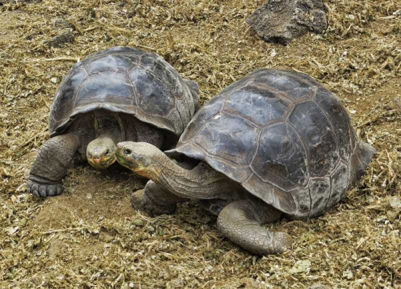 GALAPAGOS TORTOISES 2 by Jennifer Blackburn