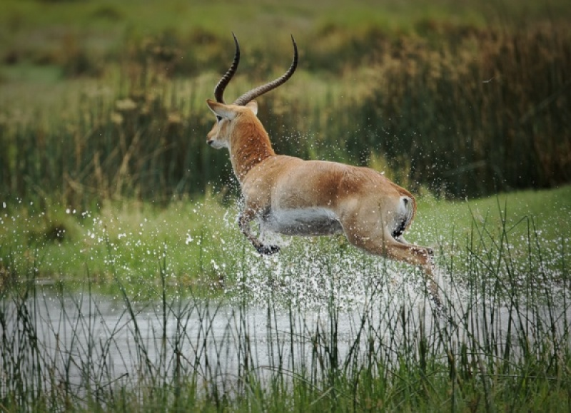 RED LECHWE JUMPING by Pete Roberts