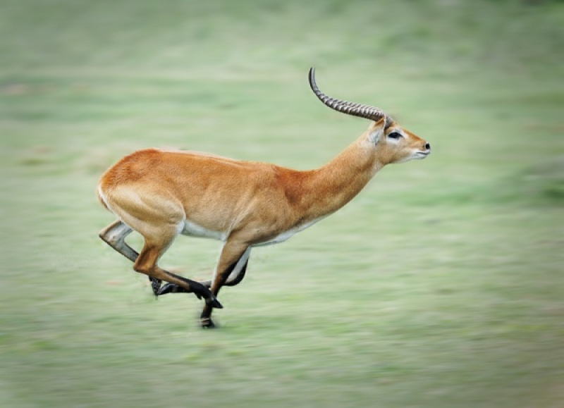 RED LECHWE RUNNING by Pete Roberts