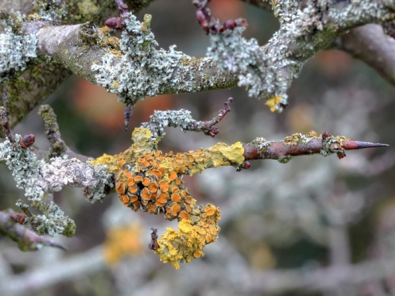 LICHEN ON HAWTHORN by Dorothy Challand
