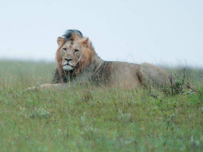 LION ON WET GRASS by Dorothy Challand