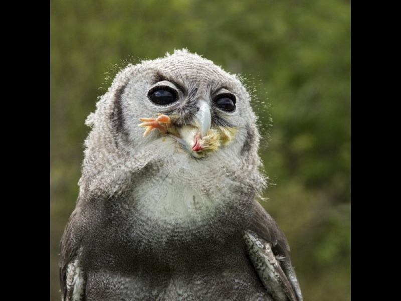 EAGLE OWL EATING by Helena Jones