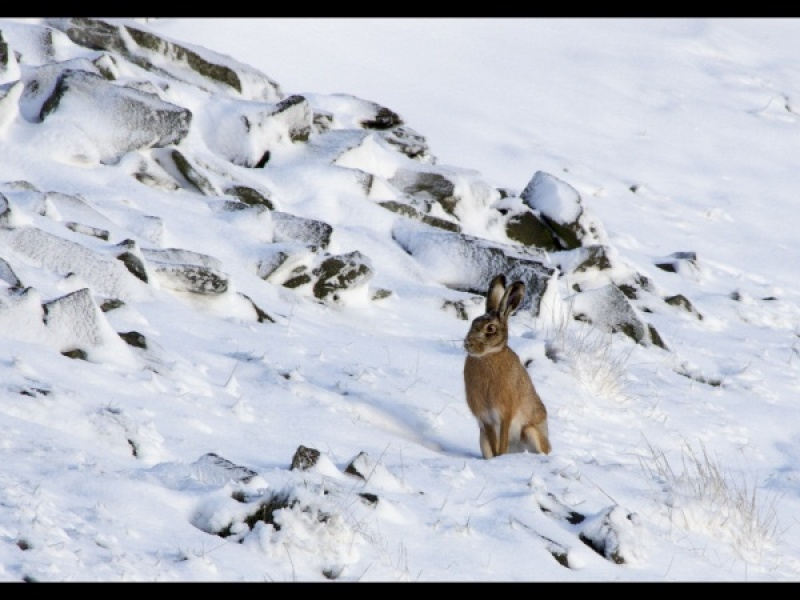 Hare in the snow by Helena Jones
