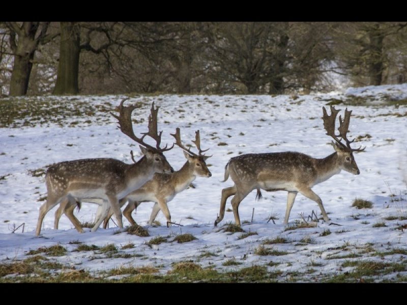 Fallow Deer in Winter by Helena Jones