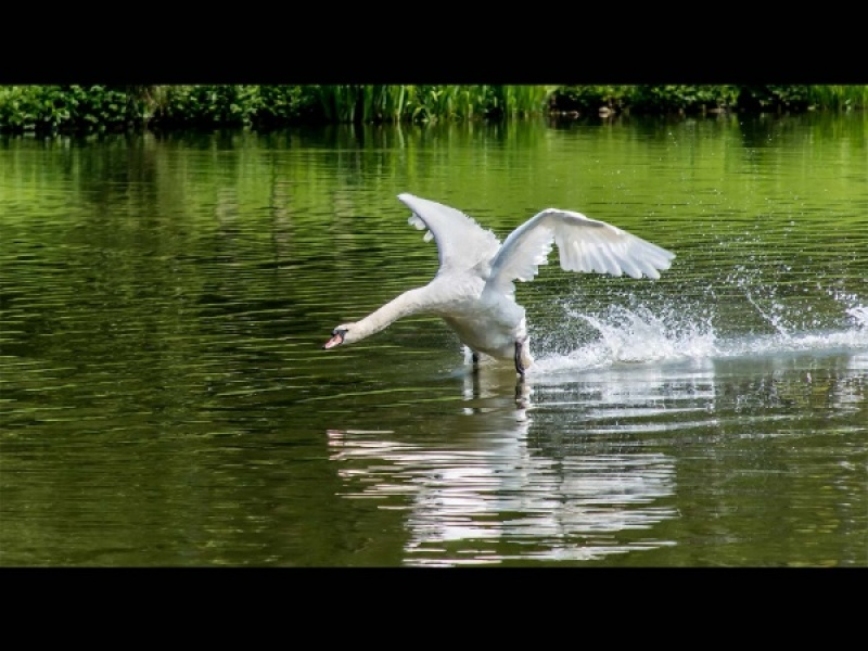 MUTE SWAN TAKING OFF by Dick Bateman