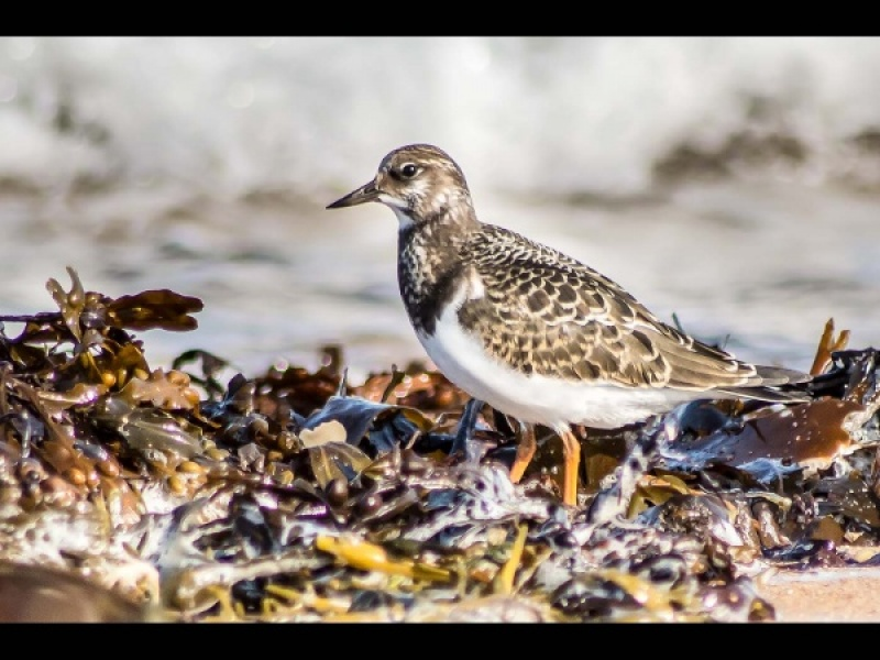 TURNSTONE by Dick Bateman