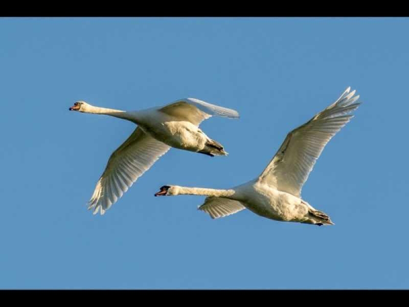 MUTE SWAN PAIR FLYPAST by Dick Bateman