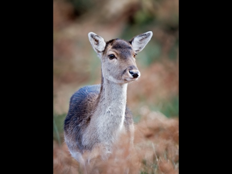 FEMALE ROE DEER by Terry Walker
