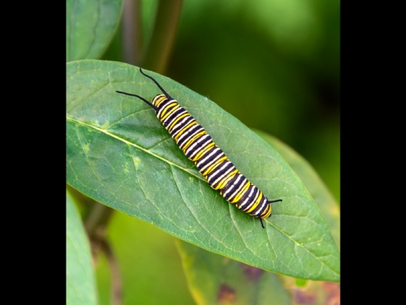 MONARCH CATAPILLAR by Terry Walker