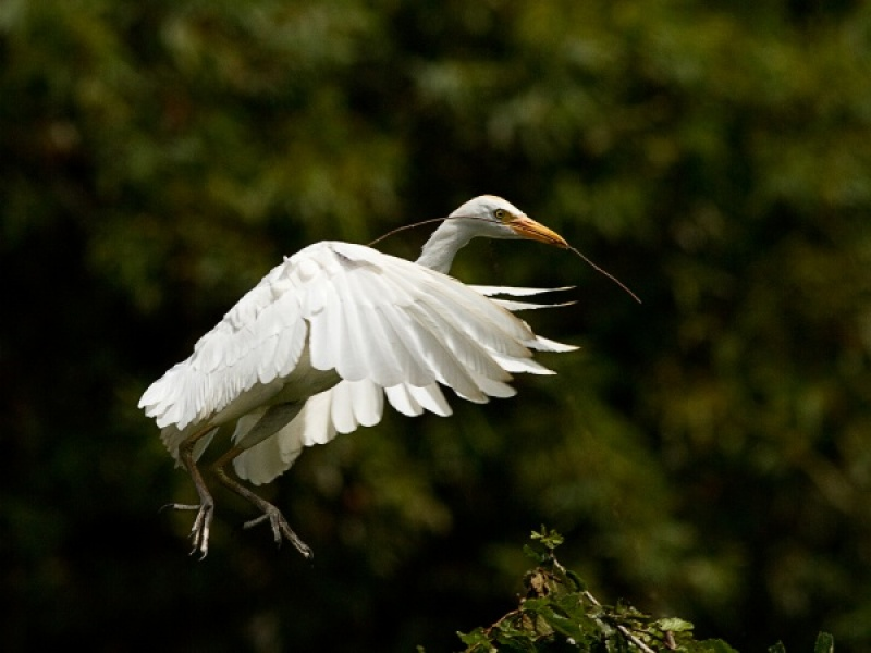 CATTLE EGRET LANDING WITH TWIG by Ken Lomas