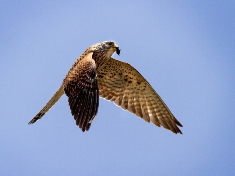 KESTREL WITH FOOD by Ken Lomas