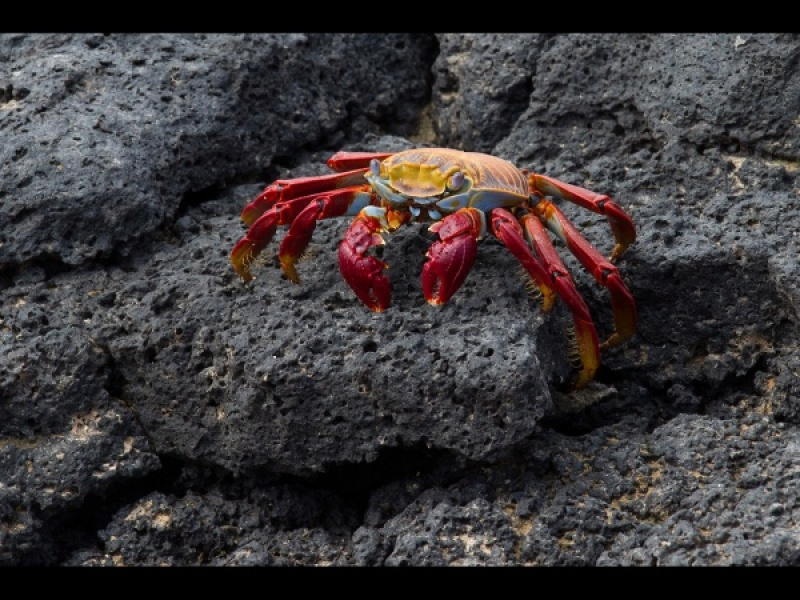 SALLY LIGHTOOT CRAB ON LAVA by Malcolm Blackburn